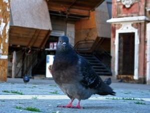 Pigeon2013